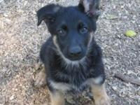 At this time we have one very good AKC German Shepherd