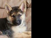 Animal Type: Dogs Breed: GERMAN SHEPHERD FIVE FEMALES