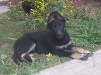 I have a trash of AKC German Shepherds. Sire is OFA