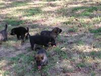 DACH HAUS GERMAN SHEPHERDS BREEDING/TRAINING GSD SINCE