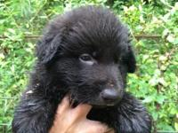 AKC registered long haired German Shepherd puppies.