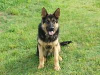 AKC GERMAN SHEPHERD MALE, 10 MONTHS OLD, LARGE MALE.