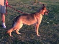 Akc German Shepherd intact male. He is a proven stud.