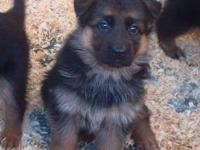 I have a 3 year old Male AKC German Shepherd for sale.