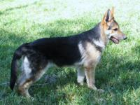 AKC German Shepherd male pup 4 and 1/2 months old. He