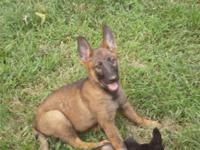 AKC German Shepherd male puppy. He is up to date on his