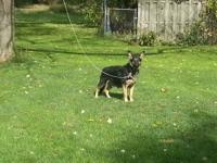 AKC GERMAN SHEPHERD FEMALE: 3 1/2 YEARS OLD PROVEN MOM