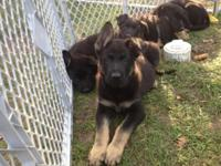 AKC Registered Black & & Tan German Shepherd Puppies