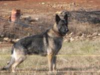 AKC signed up Large male Black/Tan German Shepherd dog.