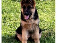 GORGEOUS TOP QUALITY AKC 15 WEEK OLD GERMAN SHEPHERD