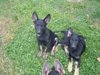 I am a German Shepherd breeder of 20+ years. I have 3