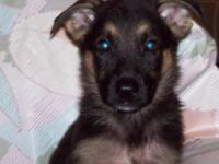 AKC Purebred German Shepherd pup for sale. Very good