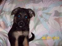 AKC registered German Shepherd pup for sale, Very good
