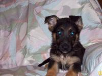 AKC Registered German Shepherd pup for sale. Champion