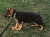 TOP QUALITY GERMAN SHEPHERD PUP CHAMPION BLOODLINES