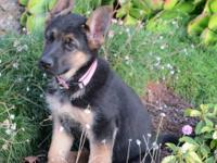 German Shepherd is an extremely loyal and smart breed.