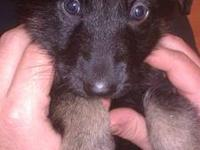 Female German Shepherd puppies. Born inside my home,