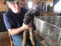 GERMAN SHEPHERD PUPPIES, FULL AKC, 1 ST & 2 ND SHOT