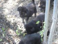 AKC Litter Registered German Shepherd Puppies. Born