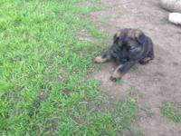 AKC German Shepherd puppies, these puppies are from