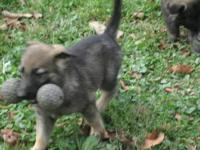 Adorable 12 week old German Shepherd puppies. Mother on