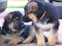 AKC registered German Shepherd Puppies. 2 males and 3