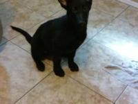 We have four beautiful AKC German Shepherd puppies