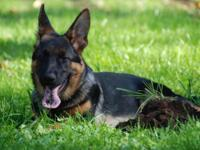 We have a 2 teenagers 7 months old German shepherd for