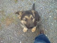 I HAVE A FEW AKC GERMAN SHEPHERD PUPPIES STILL TO FIND