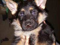 AKC German Shepherd Puppies. Red and black coloring.