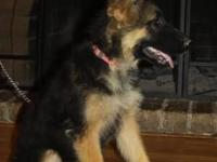 Up for sale AKC German Shepherd puppies 16 weeks old 3