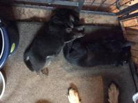 I have two litters available akc full reg,