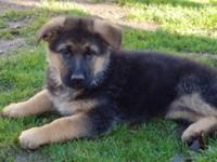 We have german shepherd puppies they born on November
