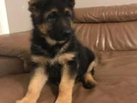 Beautiful two Akc German shepherd male puppies