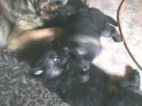 AKC German Shepherd puppies. Family Raised, Excellent