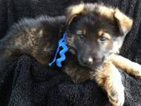 AKC registered, born April 10, 2012. Will be ready for