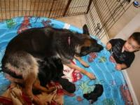 AKC black and tan German Shepherds born June 13th.