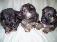 Now taking deposits on a litter of 10 AKC German