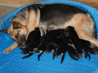 AKC German Shepherd puppies, born on the first day of