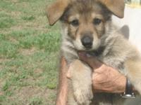 $500 USD AKC German Shepherd Puppies Avon Park,