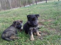 AKC German Shepherd Puppies 8 weeks old. Have excellent