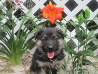 Beautiful AKC German Shepherd puppies,black and tan.