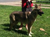 German Shepherd Puppies In Sc Pets And Animals For Sale In Waco