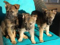 We have 3 liters of adorable pedigree german shepherd