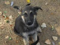 ++GERMAN SHEPHERD PUPPIES AKC REGISTERED. THESE PUPPIES