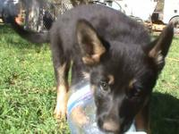Beautiful litter of 9 AKC GSD pups born Aug 22, 2012 -