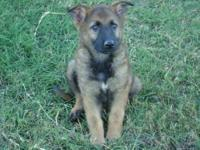 AKC registered german shepherd puppies for sale. I have