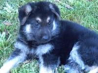 I have 2 German Shepherd puppies (1 female /1 male)