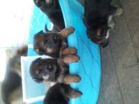 Beautiful AKC German Shepherd puppies. Mom is Black and