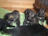 Akc German shepherd puppies females 3boys 1 girl ready